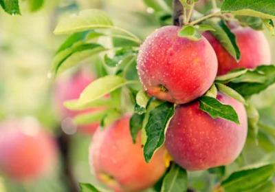 リンゴの皮